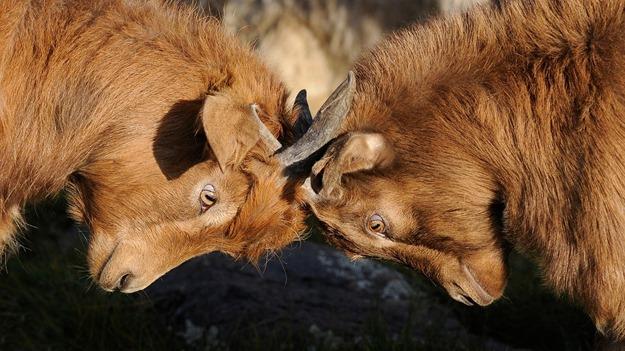 goats-692660_1280